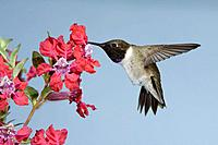 Black-chinned Hummingbird - male - in flight at flower (Archilochus alexandri )