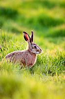 European Brown HARE - feeding on grass (Lepus capensis europaeus)