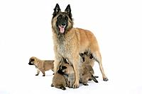 DOG - Belgian Shepherd (Tervuren) dog with puppies