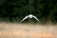 Bird - Barn owl flying (Tyto Alba)