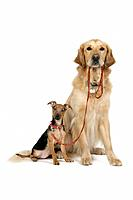 Dog. Terrier X and Golden Retriever holding lead