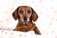Dog - Miniature Short Haired Dachshund - in a basket