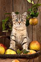 CAT - British shorthaired kitten sitting on basket of apples