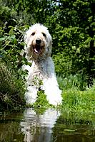 DOG - Goldendoodle standing at the edge of a pond