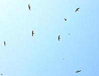 Flock of Alpine Swifts - in flight over the Vikos Gorge (Apus melba)