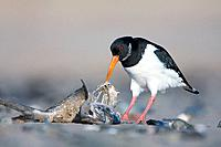 Eurasian Oystercatcher - Scavenging on the fleshy carcass of a dead fish washed up by the tide (Haematopus ostralegus)