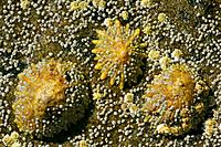 Common limpets and acorn barnacles (Semibalanus balanoides) - on a rock at low tide (patella vulgata)