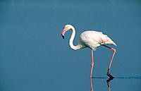 European Greater FLAMINGO (Phoenicopterus ruber)