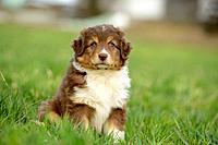 Headline: Australian sheperd puppy sitting on a meadow, Bavaria, Germany, Europe