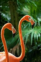 Flamingos Phoenicopterus ruber are water birds that measure 1.20 meters and weighing between two and three kilos.