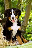 Bernese Mountain Dog - puppy sitting. Also known as Berner Sennenhund