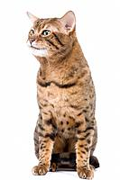 Cat - Bengal - Brown spotted in studio