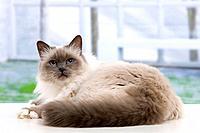 Cat - Birman