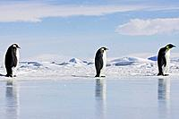 Emperor Penguin - three adults walking across ice (Aptenodytes forsteri)