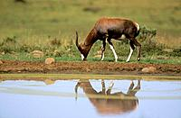 BLESBOK (Damaliscus dorcas phillipsi)