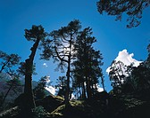 NEPAL, SHIPTON'S COL, Himalayan pines are silhouetted against the sun and a deep blue sky on the descent from Shipton's Col in the Makalu region of ea...