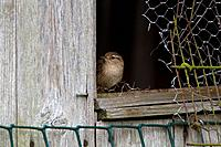 Eurasian Wren (Troglodytes troglodytes) adult, perched at shed window, England, April
