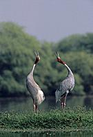 Indian Sarus Crane giving unison call. (Grus antigone)