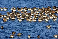 Knot - Flock resting during spring migration (Calidris canutus)