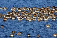 Knot - Flock resting during spring migration (Calidris canutus)