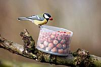 Great Tit - taking peanuts from Red Squirrel feeder in garden (Parus major)