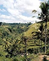 Bali. Terraced rice fields. Country of Origin: Indonesia. Culture: Balinese. Date/Period: 1982 Place of Origin: Bali. Credit Line: Werner Forman Archi...
