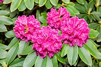Rhododendron ponticum is a dense, suckering shrub or small tree native to southern Europe and southwest Asia.