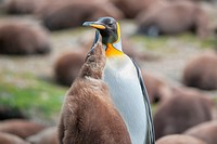 An adult King penguin (Aptenodytes patagonicus) with its chick, Falkland Islands