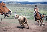 Cowboys Herding a Cow