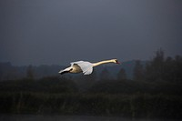 Flying Mute Swan (Cygnus olor), flying, Federsee lake, near Bad Buchau, Baden-Württemberg, Germany