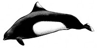 DEU, 2008: Dalls Porpoise, Dalls White-flanked Porpoise (Phocoenoides dalli), drawing.