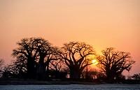 Baines Baobabs or African Baobabs (Adansonia digitata), Kudiakam Pan, Botswana