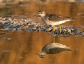 Wood sandpiper foraging in low water, Tringa glareola, Germany, Europe / Bruchwasserläufer auf Futtersuche, Tringa glareola, Deutschland, Europa