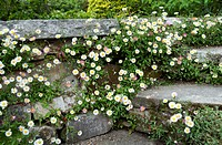 Mexican Fleabane (Erigeron karvinskianus) flowering in the cracks of a stone wall in summer.
