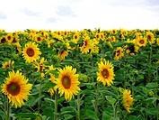 field of sunflowers - 01/01/2009