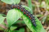 Chenille, Caterpillar, Malacca, Bandar Melaka, Malaysia.