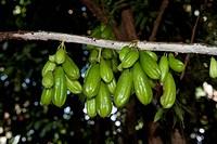 Lim?o caetano (Averrhoa bilimbi) tree in fruit in a home garden. Boa Esperanca, Lago Amana, Amazonas, Brazil, 9-18-12