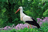 White Stork (Ciconia ciconia) Germany