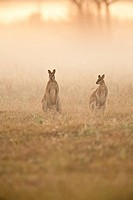 A pair of agile wallabies (Macropus agilis ) forage in a field at sunrise at Mary River in Australia's Northern Territory.