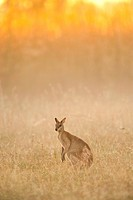 A female agile wallaby (Macropus agilis ) forages in a field at sunrise at Mary River in Australia's Northern Territory.
