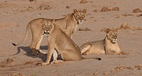 Three lions (Panthera leo) together, Samburu National Reserve, Kenya
