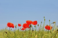 Corn Poppies (Papaver rhoeas), Schleswig-Holstein, Germany