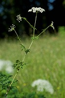 Cow Parsley, Anthriscus sylvestris / Wiesen-Kerbel, Anthriscus sylvestris