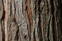 Cedar Tree Bark Pattern Detail