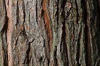 Cedar Tree Bark Pattern Detail