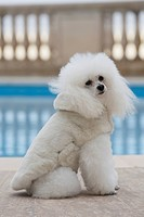 White poodle with fur coat at a swimming pool