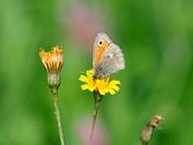 Kleines Ochsenauge / Hyponephele lycaon / Dusky Meadow Brown