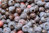 Group of American blueberries