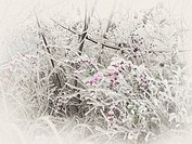 Frozen, ice glazed branches and pink berries of a coralberry shrub