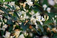 Lonicera tatarica, Tatarian Honeysuckle